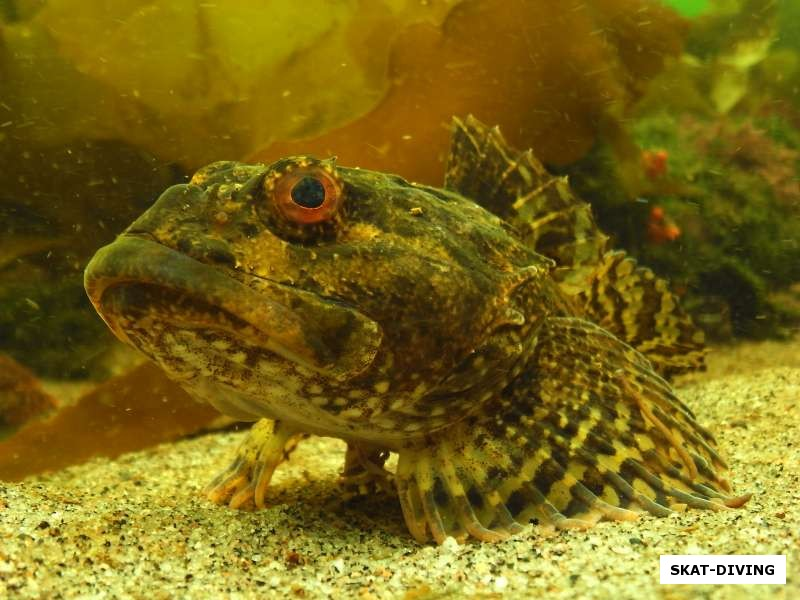 керчак рыба фото
